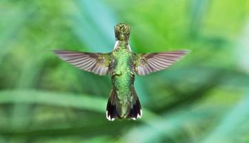 sfw_apa_2011_19636_154537_chedbradley_rubythroated_hummingbird_female_kk